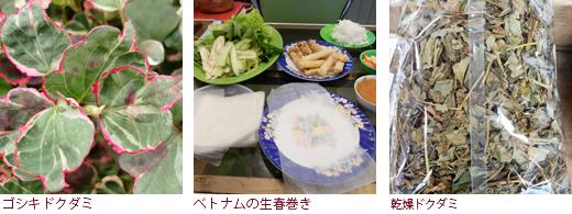 ゴシキドクダミ、ベトナムの生春巻き、乾燥ドクダミ