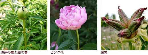 頂芽の蕾と脇の蕾、ピンク花、果実
