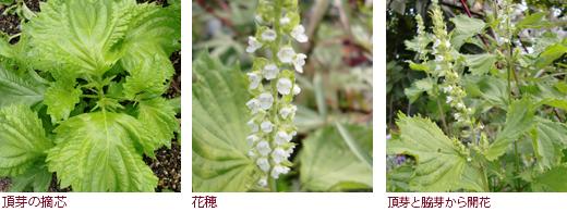 頂芽の摘芯、花穂、頂芽と脇芽から開花