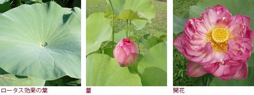 ロータス効果の葉、蕾、開花