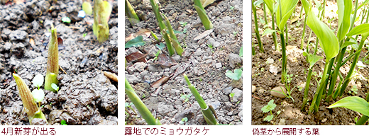 4月新芽が出る、露地でのミョウガタケ、偽茎から展開する葉