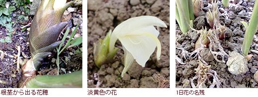 根茎から出る花穂、淡黄色の花、1日花の名残