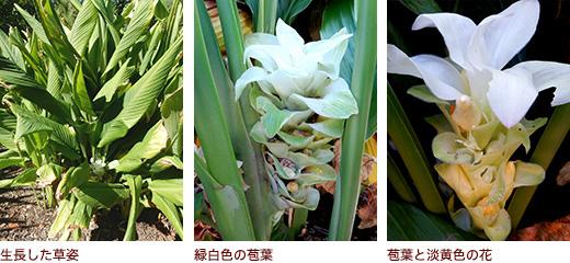生長した草姿、緑白色の苞葉、苞葉と淡黄色の花