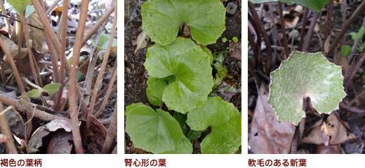 褐色の葉柄、腎心形の葉、軟毛のある新葉