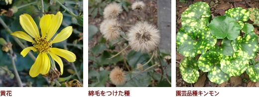 黄花、綿毛をつけた種、園芸品種キンモン