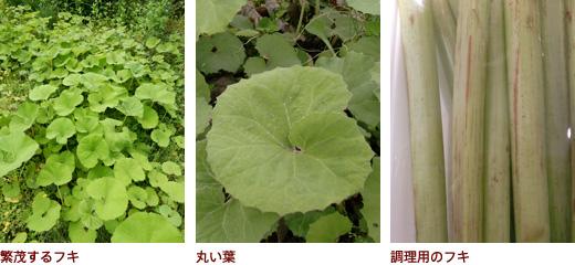 繁茂するフキ、丸い葉、調理用のフキ