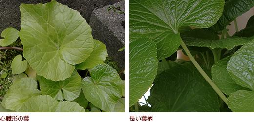 心臓形の葉、長い葉柄