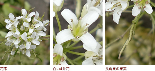 花序、白い4弁花、長角果の果実