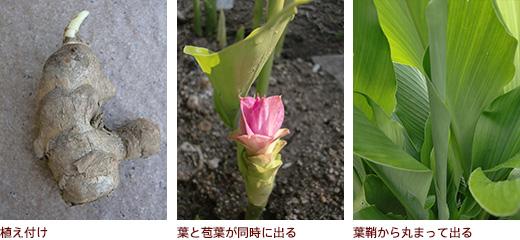 植え付け、葉と苞葉が同時に出る、葉鞘から丸まって出る