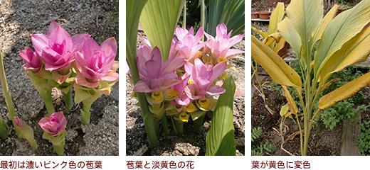 最初は濃いピンク色の苞葉、苞葉と淡黄色の花、葉が黄色に変色