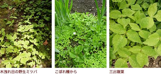 木洩れ日の野生ミツバ、こぼれ種から、三出複葉