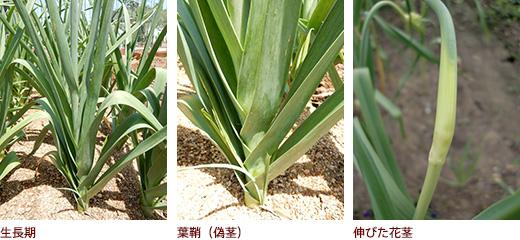 生長期、葉鞘(偽茎)、伸びた花茎