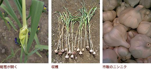 総苞が開く、収穫、市販のニンニク