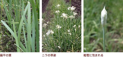 扁平の葉、ニラの草姿、総苞に包まれる
