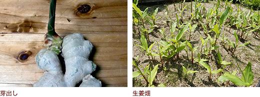 芽出し、生姜畑