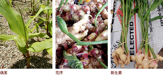 偽茎、花序、新生姜