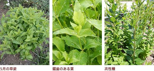5月の草姿、鋸歯のある葉、高性種