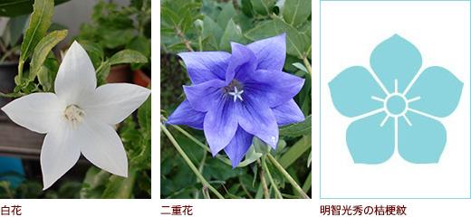 白花、二重花、明智光秀の桔梗紋