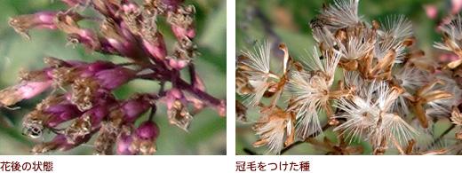 花後の状態、冠毛をつけた種