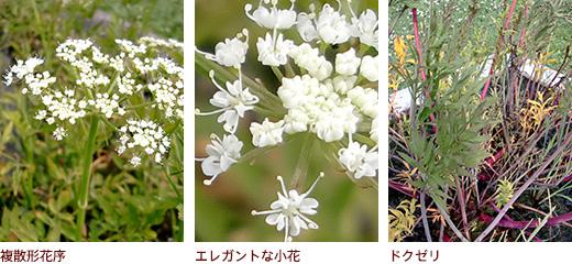 複散形花序、エレガントな小花、ドクゼリ