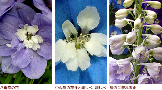 八重咲の花、中心部の花弁と雌しべ、雄しべ、後方に流れる距