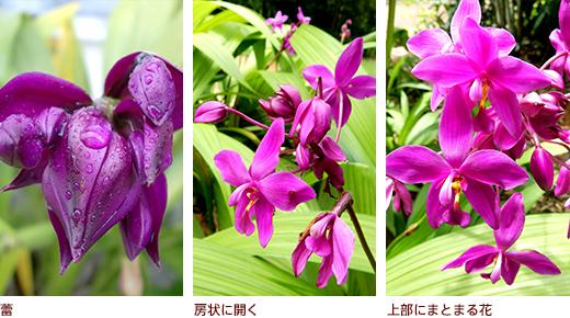 蕾、房状に開く、上部にまとまる花