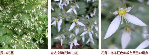 長い花茎、左右対称形の白花、花弁にある紅色の紋と黄色い斑点